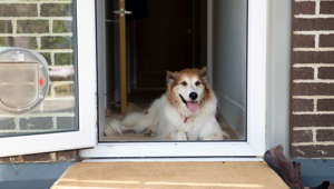Happy looking Collie type dog sitting on the inside doorstep by an open glass door
