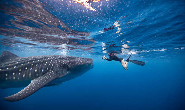 幻灯片 25 - 1: Underwater view of female snorkeler photographing whale shark, Quintana Roo, Mexico