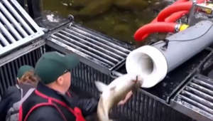 Fire in the hole! 'Salmon cannon' helps fish migrate safely through dams