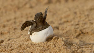 Tiny turtle hatchlings make their way to sea