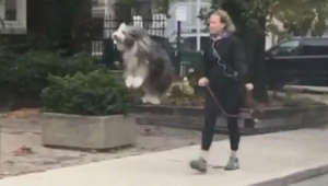 Watch this dog jump for joy while going for a walk
