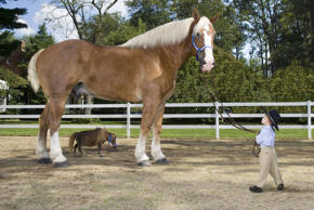 "Radar, a Belgian draft horse and reigning Guinness World Record holder as the ""Tallest Living Horse,"" at 19 hands 3.5 inches (6ft 6in), and Thumbelina, a miniature sorrel brown mare and the world's ""Smallest Living Horse,"" 17.5 inches, are united for the first time for a photo shoot that will appear in the Guinness World Records 2008 edition, on sale August 7th. (PRNewsFoto/Guinness World Records 2008 Edition)"