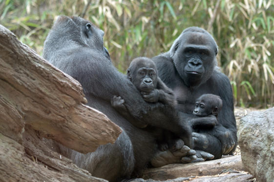 In this April 14, 2015, photo provided by the Wildlife Conservation Society, a pair of infant lowland gorillas sits with their respective mothers at the Congo Gorilla Forest exhibit in New York City's Bronx Zoo. The zoo is introducing two new baby western lowland gorillas to the public. (Julie Larsen Maher/Wildlife Conservation Society via AP)