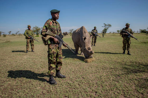 A platoon of armed guards watch over Sudan, one of the last four northern white rhinoceroses brought from a zoo in the Czech Republic in an effort to breed the almost extinct species.
