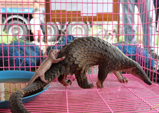 epa02695301 A new born confiscated smuggled baby pangolin with its mother inside a cage during a press conference in Bangkok, Thailand, 20 April 2011. Thai customs seized smuggling 173 pangolins which numbers of them give baby birth during press conference and 130 kilograms of dried snake skins valued 66,000 US dollars or 46,000 euro (2 million baht), customs said. The pangolin listed as endangered species in CITES (Convention on International Trade in Endangered Species).  q - photographed: April 20, 2011