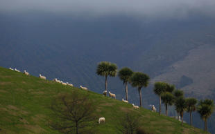 Sheep graze on a hill in Purakaunui, near Dunedin in this September 7, 2011 file photo.