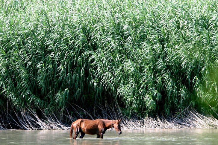 A horse drinks from the Rio Grande outside Ciudad Acuna, Mexico, where Carrizo, or giant cane, grows wild along the riverbanks. Tom Pennington/Fort Worth Star-Telegram/MCT/Getty Images