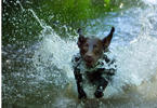 Jen Doub's dog, Ruger, cools off in the Conococheague Creek on one of the hottest days of the season Wednesday, July 17, 2013 in Chambersburg, Pa. (AP Photo/Public Opinion, Markell DeLoatch)