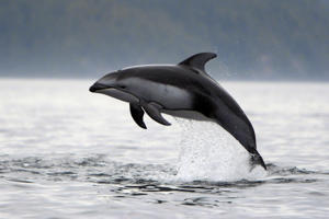 A Pacific white-sided dolphin. Representative pic.
