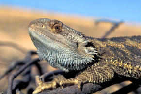 A bearded dragon lizard. Arthur Georges/University of Canberra, Australia/AP