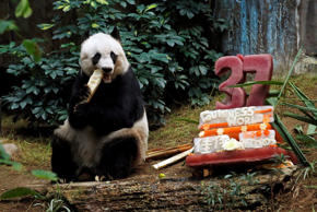 "Giant panda Jia Jia eats bamboo next to her birthday cake made with ice and vegetables at Ocean Park in Hong Kong, Tuesday, July 28, 2015 as she celebrates her 37-year-old birthday. Jia Jia broke the Guinness World Records title for ""Oldest Panda Living in Captivity"" on Tuesday. (AP Photo/Kin Cheung)"