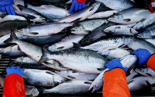 Crew members sort salmon by species while delivering the day's fish from the commercial salmon seining vessel F/V Renaissance to a tendering boat in the waters off the island of Kodiak, Alaska August 1, 2008.  Lucas Jackson /Reuters