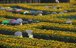 Guests take cover from the rain under umbrellas as they walk through a labyrinth of 125,000 sunflowers, to mark the opening of the new entrance to the Van Gogh museum and the 125th anniversary of the Dutch master's death in Amsterdam, Netherlands, Friday, Sept. 4, 2015. Peter Dejong/AP