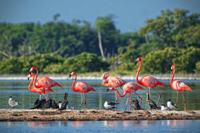 Flamingos in Rio Lagartos, Mexico