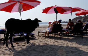 A cow is seen with young travelers relaxing at Cow Beach in Goa, India.