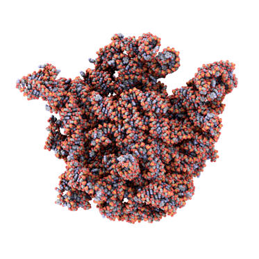 Bacterial ribosome 1ond; ribosome from extrempohile bacteria Deinococcus radiodurans- serves as basis for ribosome-antibiotic interactions (antibiotics not shown)