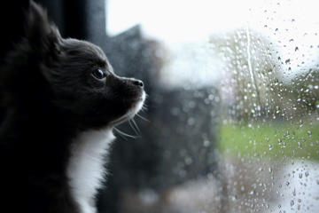 Chihuahua looking through window during a rainstorm.