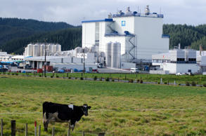 A cow in front of Fonterra Kauri plant, Whangarei, New Zealand.