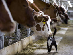 Dairy cows nuzzle a barn cat as they wait to be milked at a farm in Granby, Quebec July 26, 2015. Pacific Rim officials meet in Hawaii this week for talks which could make or break an ambitious trade deal that aims to boost growth and set common standards across a dozen economies ranging from the United States to Brunei. Canada's refusal so far to accept more dairy imports is a major sticking point in the talks, infuriating the United States as well as New Zealand, which has said it will not sign a deal that fails to open new dairy markets. REUTERS/Christinne Muschi TPX IMAGES OF THE DAY