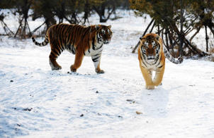 Siberian tigers wander in the Siberian Tiger Park in Harbin. Altogether 91 Siberian tiger cubs, one of world's most endangered animals, were born in 2012 in the park. The park now has 1,067 Siberian tigers and is the largest Siberian tiger breeding and field training center in the world