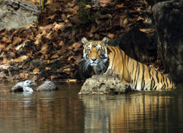 Tigers let juvenile vulture get away, Bandhavgarh National Park, Madhya Pradesh, India - 2012