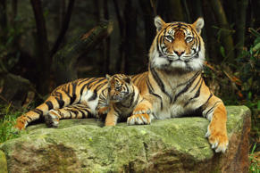 SYDNEY, AUSTRALIA - OCTOBER 25:  Sumatran tiger Jumilah is seen with one of her cubs on display at Taronga Zoo on October 25, 2011 in Sydney, Australia. The Sumatran tiger cubs, born in August to mother Jumilah, will meet the public for the first time this week.  (Photo by Mark Kolbe/Getty Images)