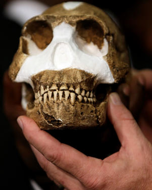 A reconstruction of Homo naledi presented during the announcement made in Magaliesburg, South Africa, Thursday, Sept. 10, 2015.