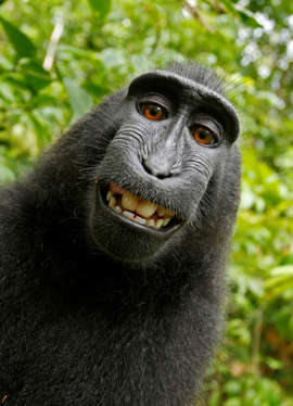 "This 2011 photo provided by People for the Ethical Treatment of Animals (PETA) shows a selfie taken by a macaque monkey on the Indonesian island of Sulawesi with a camera that was positioned by British nature photographer David Slater. The photo is part of a court exhibit in a lawsuit filed by PETA in San Francisco on Tuesday, Sept. 22, 2015, which says that the monkey, and not Slater, should be declared the copyright owner of the photos. Slater has argued that, as the ""intellect behind the photos,"" he is the copyright owner since he set up the camera so that such a photo could be produced if a monkey approached it a pressed the button."