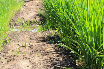 Growing rice during water shortage in the Scremento Valley of California.