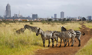 In this photo taken Thursday, July 30, 2015,  the city skyline is seen behind a group of zebras in the Nairobi National Park in Nairobi, Kenya.