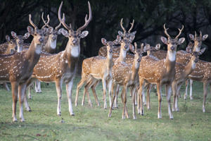 Herd of Indian spotted deer.