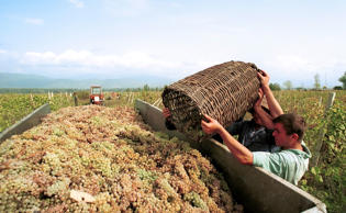 Pickers unload their baskets of freshly picked grapes on a winery in Kakhetia, Georgia, on Monday, Sept. 3, 2007.