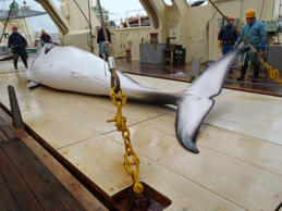 Japan has announced it will resume whaling next year, which the New Zealand gove...