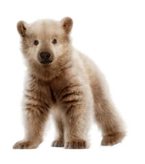 Polar bear and Grizzly hybrid baby