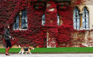 A woman walks her dog on an autumn morning as Virginia Creeper grows on the outside of Christ Church college in Oxford.