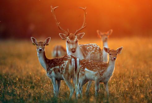 <p>Unos ciervos a última hora de una tarde de otoño a la luz del sol en el Parqu...
