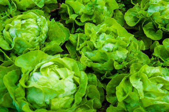 Closeup on fresh wet lettuce in the garden