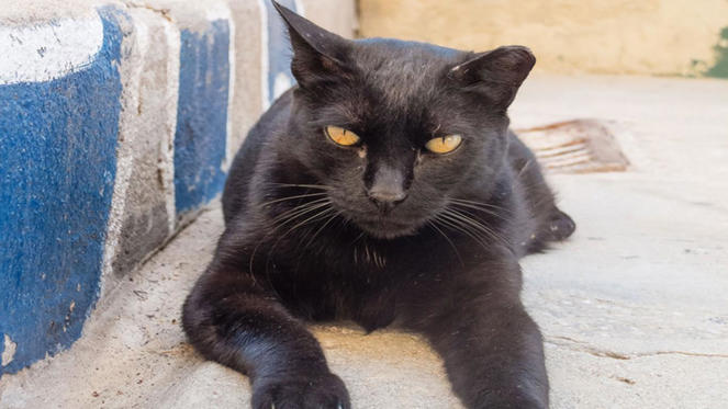 A black stray cat living on the streets of Rome got lucky when the late Maria Assunta, an Italian property magnate's widow, took him in. Upon her death in 2011, Tommaso (similar to the cat pictured) 'inherited' a purported $13 million (£8.6 million), including real estate. However, Italian law prevents animals from inheriting so Assunta's nurse Stefani was bequeathed the fortune and given the responsibility of caring for the feline.