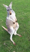 Kangaroo shows off dance moves