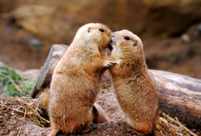 UNSPECIFIED - UNDATED: Kissing Prairie Dogs. From kissing puffins to embracing squirrels these intimate pictures show that love transcends all species. With Valentines Day upon us these images of star crossed animals would melt any heart. While lovers, c
