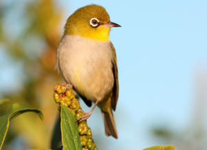 Silvereye (Zosterops lateralis), a small bird growing to 12 cm