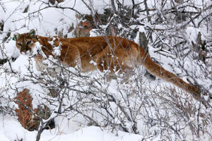 A mountain lion makes its way through fresh snow in the foothills outside of Golden, Colorado April 3, 2014.