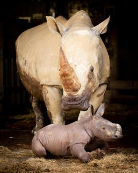 A male southern white rhinoceros calf has been born at Hamilton Zoo.