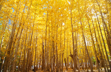 Wide angle fall Aspen Trees , Leh District in the state of Jammu and Kashmir, India.