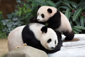 Seven-month old female giant panda cub Nuan Nuan, right, plays with her mother Liang Liang inside the panda enclosure at the National Zoo in Kuala Lumpur, Malaysia, Thursday, April 7, 2016. The cub, the offspring of Xing Xing and Liang Liang, two giant p