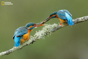 Kingfisher (Alcedo athis) male  with an engagement present for the female.