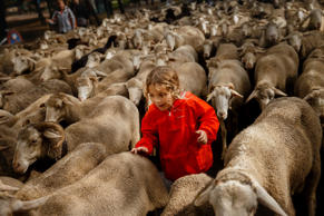 Max, a 10 year old boy, runs by as shepherds lead their sheep through the center of in Madrid, Spain, Sunday, Oct. 23, 2016. Shepherds have guided a flock of 1,000 sheep through Madrid streets in defense of ancient grazing, droving and migration rights increasingly threatened by urban sprawl and modern agricultural practices. Tourists and city-dwellers were surprised to see the capital's traffic cut to permit the ovine parade to bleat bells clanking its way past the city's most emblematic locations.