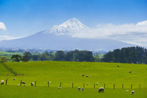 Sheep farm with Mt. Taranaki in North Island, New Zealand