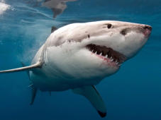 A great white shark. Photograph: AAP Image/ScreenWest