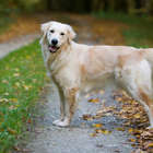 Beautiful Golden Retriever dog Moana